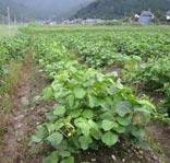 最中の丹波大納言を栽培する畑